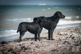 Der Labrador und sein Flat