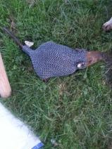 Hier tragen die Ratten Kette